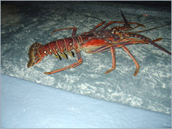 Spiny Lobster in holding system at Saba
